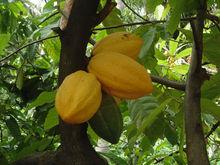 Organic Fermented Cocoa Beans