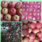 Fresh qinguan apple with cap bagged