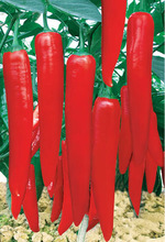 F1 hybird high quality red pepper seeds hybrid vegetable seeds for sale