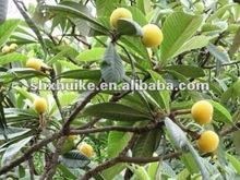 loquat leaf extract 98% Ursolic acid CAS NO 77-52-1