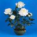 flor artificial rosa branca envasadas em verde grande tigela de cerâmica