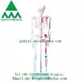 رسمت ky-102c 85cm عضلات الهيكل العظمي مع نموذج الهيكل العظمي البشري