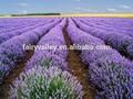 de alta calidad de todo tipo de semillas de lavanda para la siembra