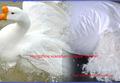 4-6cm lavado pato branco pena