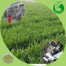 High quality green wheat grass juice wheat grass powder
