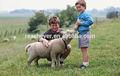 la vitamina b1hcl promover el crecimiento de los animales de la vitamina b1 hcl