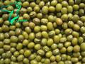 chinois et cuits 2014 germes de haricot mungo vert en stock