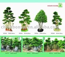Ficus microcarpa tree farms