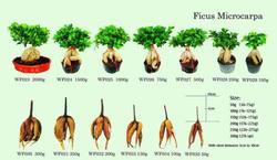 Ficus plants farms