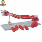 Upper Limbs Anatomical Model Muscle Anatomy Model BIX-A1033