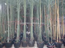 Moso bamboo phyllostachys pubescen