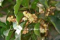 Natural Attars - Bakul(Maulshri) ATTAR OIL