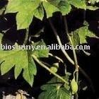 alta pureza podofilotoxina