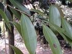 Palmleaf Raspberry Fruit extract,Ellagic acid 20% 40%