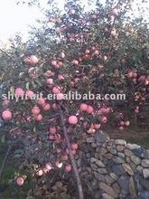 shaanxi Fuji apple(hot)!