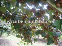 Export Kiwi fruit
