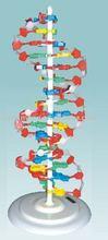 Structure de l'adn / enseignement modèle modèle de structure de l'adn / biologique et physiologiques modèles