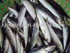 Frozen round scad mackerel