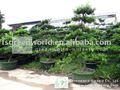 podocarpus macrophyllus viveros bonsai