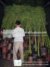 bambusa plants loading