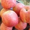 wanda export yantai fresh crisp sweet apple fuji