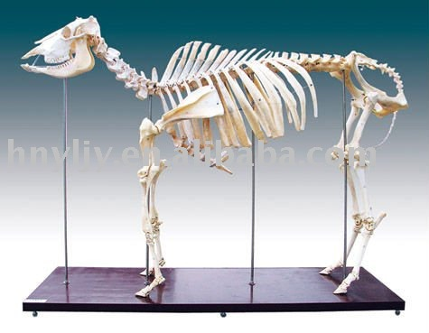 Skeleton Of Cattle