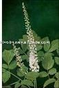 Buy 2013 Pure Triterpene glycosides Black Cohosh Extract