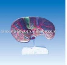 Fegato e biliare anatomia, epatico vasi sanguigni, bile di canali di distribuzione nel fegato modello