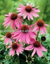 Echinacea Extract /Echinacea Purpurea/Cichoric acid,Polyphenols/CAS NO:90028-20-9