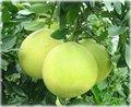 Menor precio botánico extracto de cáscara de Pomelo