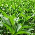 Cero calorías/reb stevia un/edulcorante natural/la fábrica del gmp