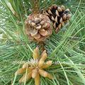 Proanthocyanidin 95% de casca de pinho p. E e.