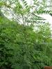 Radix Sophorae Flavescentis P.E./Lighiyellow Sophora Root P.E.
