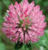 Red Clover Extract; Isoflavones;extract powder;GMP,HACCP
