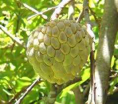 Custard Apple Fruit