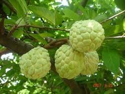 Professional Supply Custard Apple Fruit