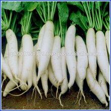 Long white radish export To Australia Dubai Europe middle east america africa asia Market Top Quality delicious White Radish