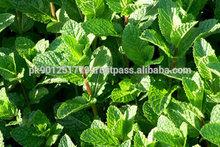 Peppermint leaves , Field mint , Peppermint leaf , stevia mints , Pudina (mint Leaves)