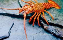 Live Spiny Rock Lobster