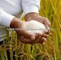 أرز سيلا الذهبي 1121 الأسعار في الهند