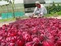 Secada del hibisco ( 40.000 hierbas plants grow en Indonesia )