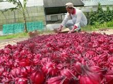 Secas de hibisco( 40.000 ervas plantas crescem naindonésia)