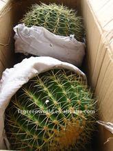 Echinocactus grusonii cactus plants