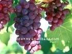 Grape Seed P.E. Proanthocyanidins