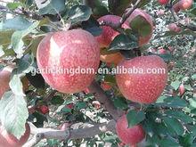 Qinguan Apples/Fresh red apple/ New crop apple from origin
