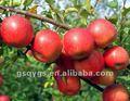 indio qinguan apple natillas