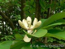 Magnolia Bark Extract 10%,90%,95% honokiol +Magnolol help control stress and anxiety,antioxidant