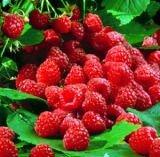 Raspberry Extract Powder Ellagic Acid 40% HPLC/UV
