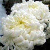 Pure Natural Chrysanthemum Extract