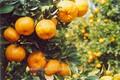 Miel mandarina naranja Citrus Fruit